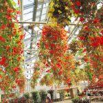 世界で最も美しい花 「ベゴニアガーデン」の夢のような世界