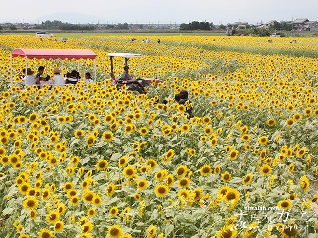 羽島ひまわり畑