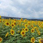 新幹線とひまわりの絶景。長期間楽しめる「大垣ひまわり畑2018」