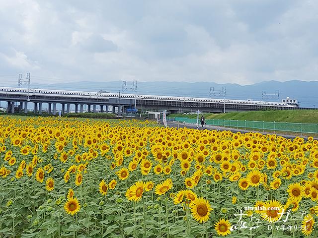 ひまわりと新幹線