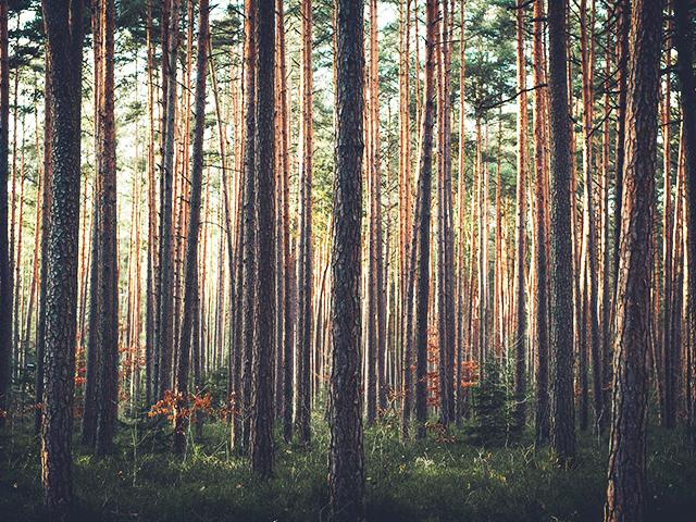 スギ・マツの木