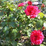 庭に秋のバラが咲き始めました 【春バラと秋バラの違いについて】