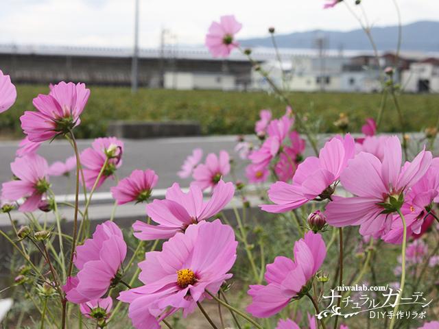 新幹線とコスモス