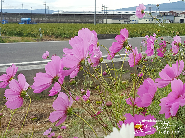 新幹線とコスモスの花