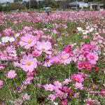 秋の絶景「羽島市いちのえだ田園フラワーフェスタコスモス2018」