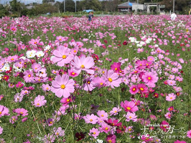羽島コスモス畑