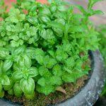 庭でハーブを育てよう!ハーブの効能や育てやすい種類について
