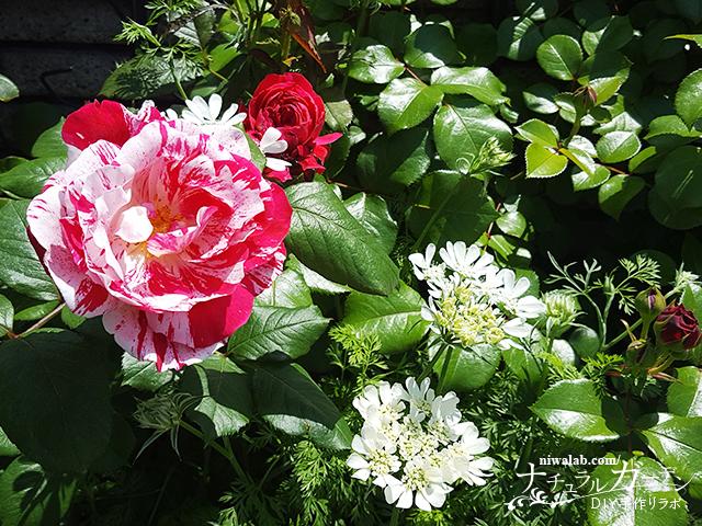 バラの消毒