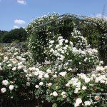 【バラ入門】 これからバラを育てたい方へ・バラの種類や基本情報