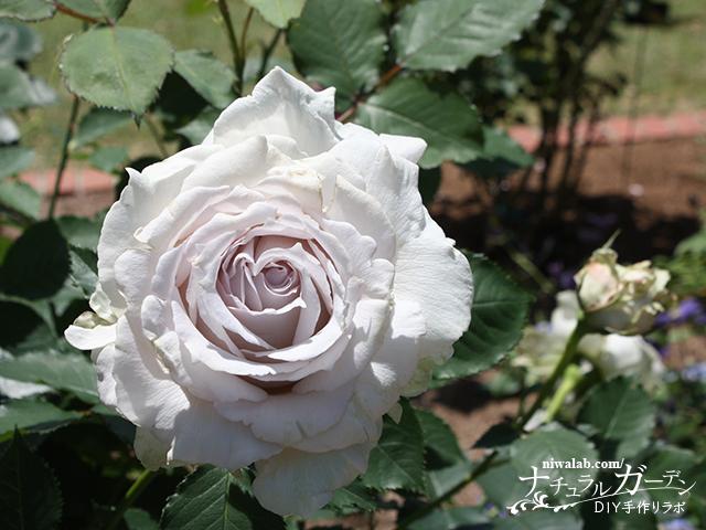バラの魅力