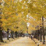 憩いの公園で秋を感じる「学びの森のイチョウとメタセコイヤの紅葉」