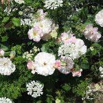 冬の間に済ましておきたい鉢植えバラの植え替えと剪定について
