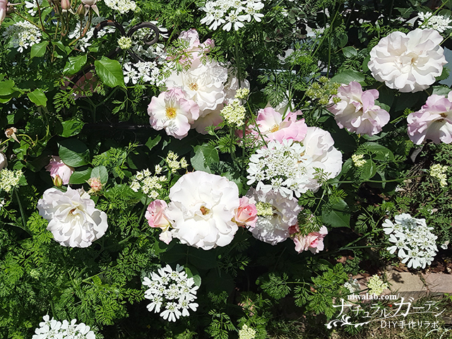 木立性バラの剪定と植え替え