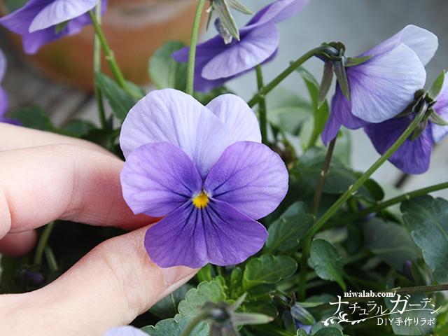 ビオラ押し花