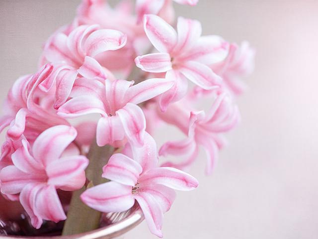ヒヤシンスの咲く時期