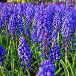 春の花壇や寄せ植えを引き立てる、色鮮やかで可憐なムスカリの花