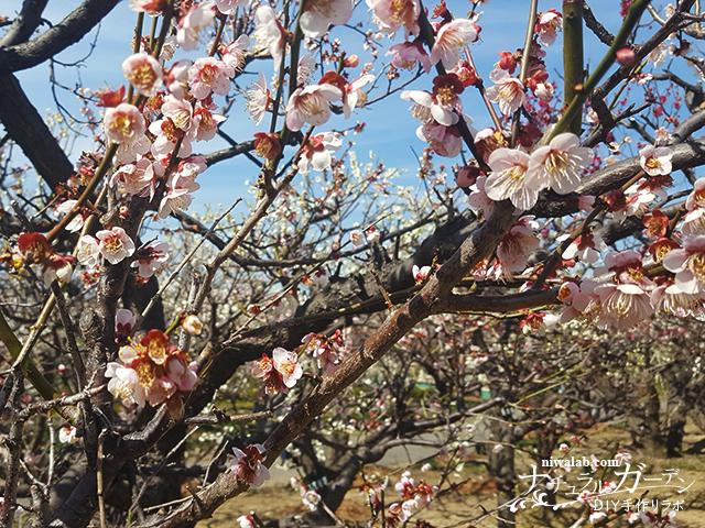 ピンク梅の花