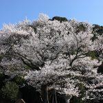 鵜飼の鮎の量を占う岐阜市きっての早咲きの桜、「鵜飼桜」で春を感じよう!