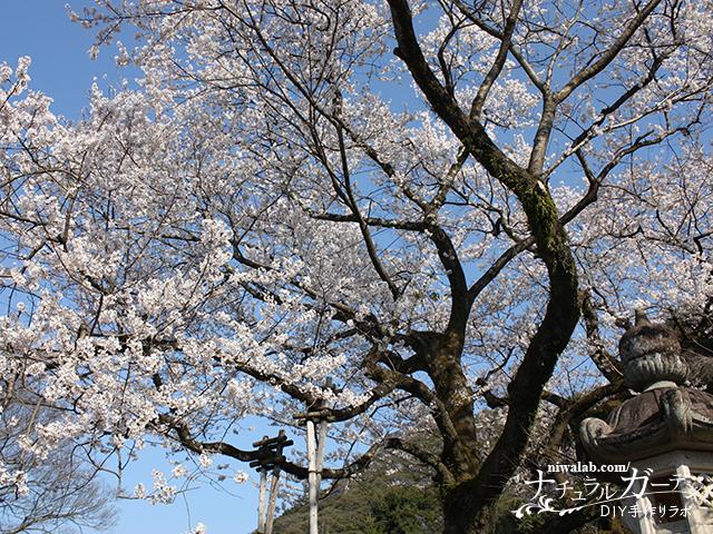 鵜飼桜満開