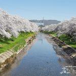 岐阜県屈指の桜の名所・百十郎桜と呼ばれる「新境川堤の桜並木」