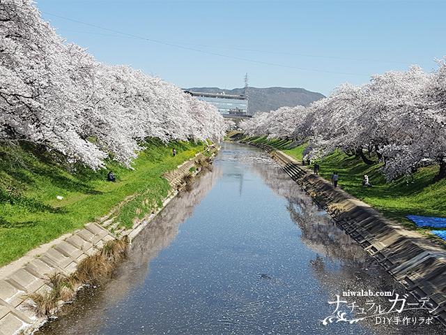 新境川堤の桜まつり