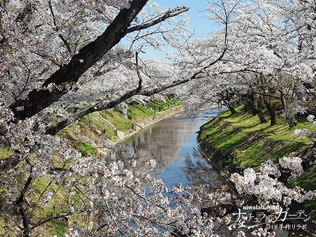 各務原の桜