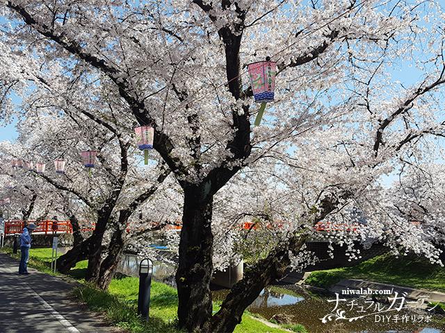 ソメイヨシノ桜並木