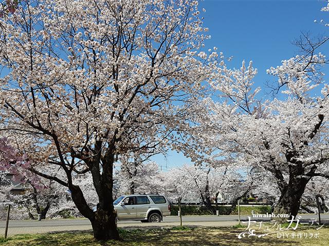 各務原市民公園の桜