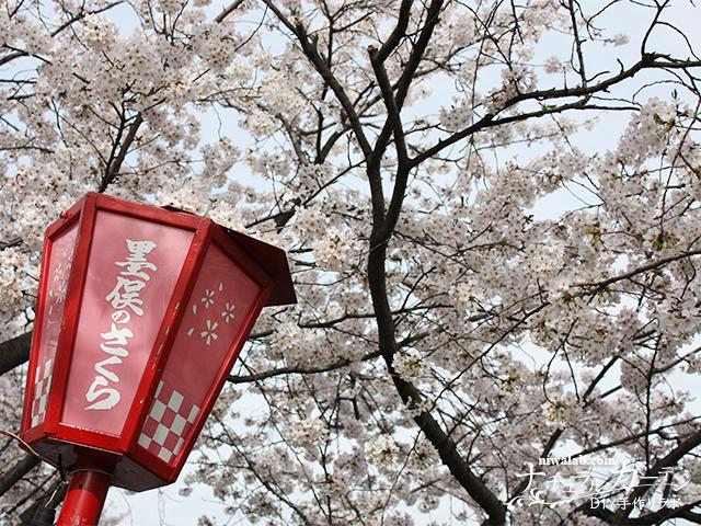 犀川堤の桜