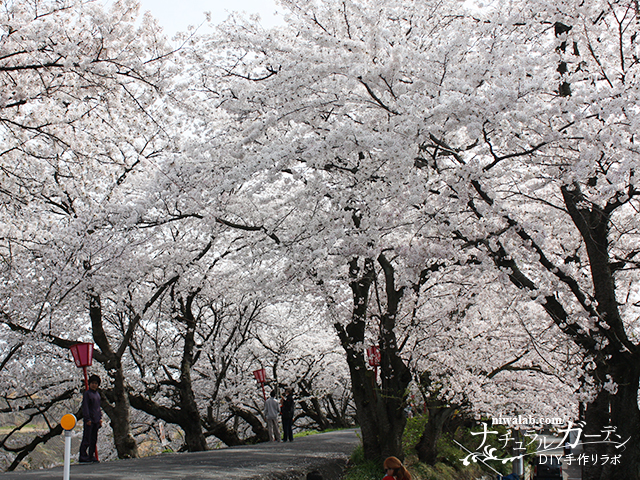 墨俣桜並木