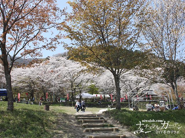 霞間ヶ渓桜