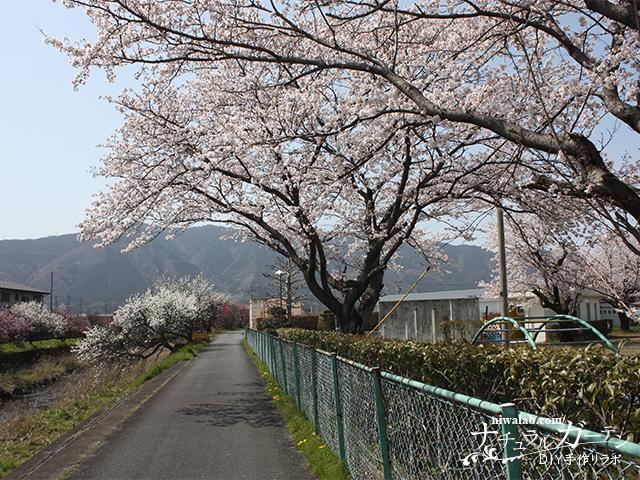 春の揖斐川町