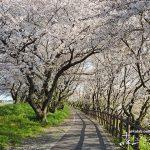 満開の桜を独り占め!贅沢な気分を味わえる「神戸町輪中堤の桜並木」