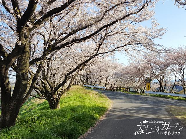 輪中堤の桜