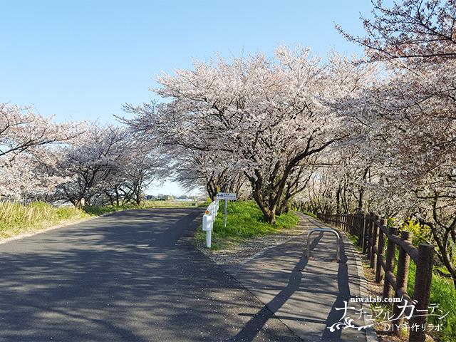 平野井川桜