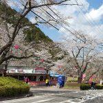 山の中に続く千本の桜のトンネル「寺尾ヶ原千本桜公園の桜」