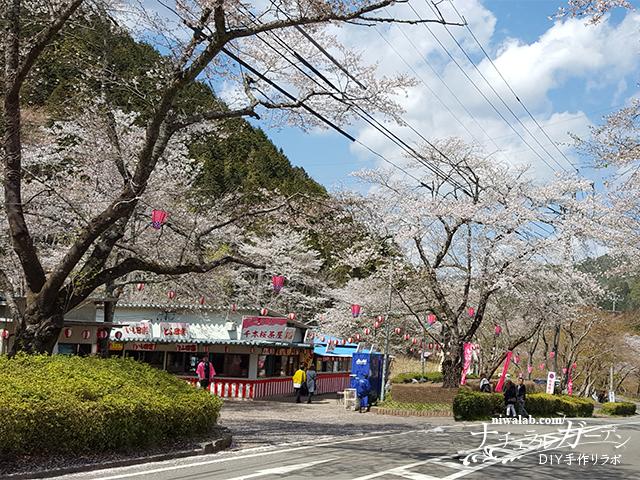 寺尾ヶ原千本桜