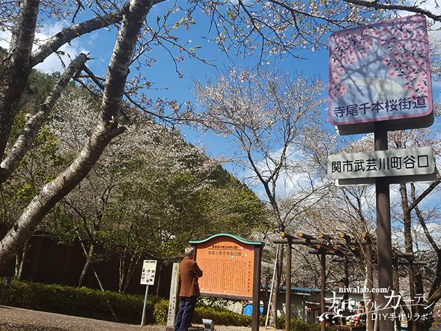 寺尾ヶ原千本桜街道