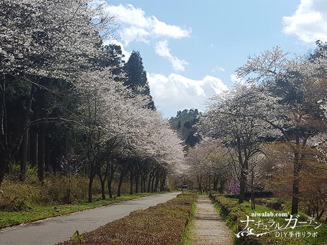 寺尾千本桜