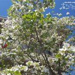 我が家のシンボルツリー・ハナミズキ(花水木)が満開に!
