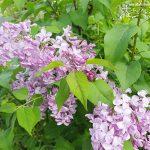 グリーンゲイブルズを夢見て・庭のライラックの花が咲きました