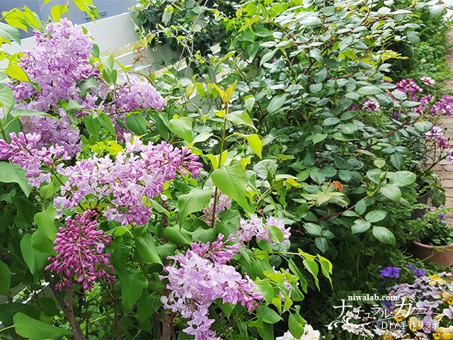 ライラックの庭