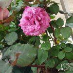 今年1番乗りのバラが咲きました!【バラのお手入れと管理の方法】