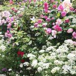 庭のバラが満開に!『チェリーガーデンバラコレクション1』~バラの種類と特徴~