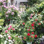 庭のバラが満開に!『チェリーガーデンバラコレクション2』~バラの種類と特徴~