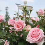 バラが特産の神戸町にある隠れたバラの名所「ばら公園いこいの広場」