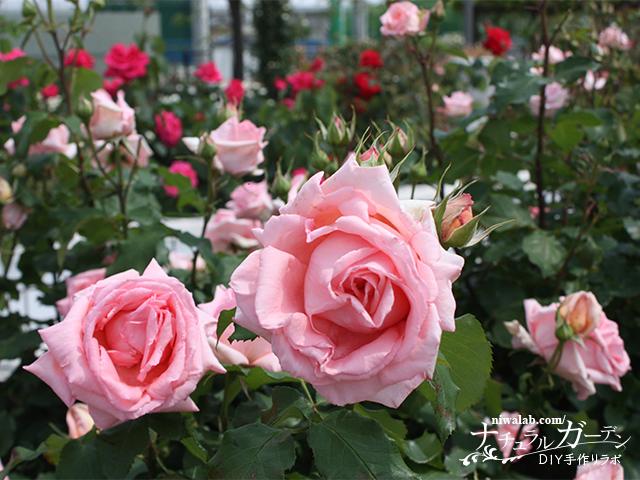 バラ公園内のバラ