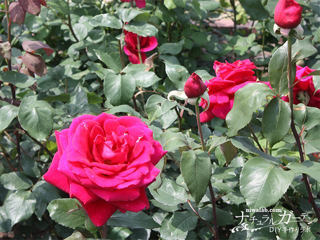 神戸町のバラ