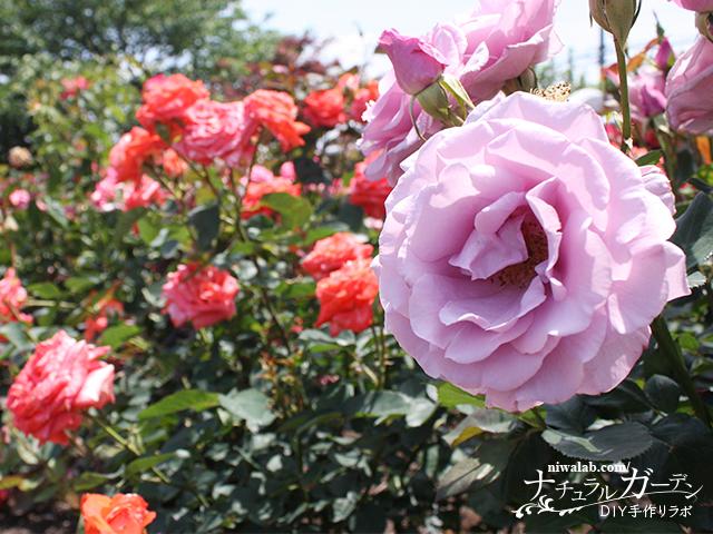 大野町バラ公園のバラ
