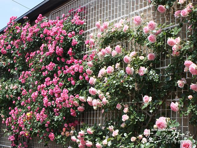壁面のバラ